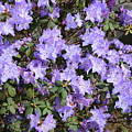 Lavender Rhododendrons by Carol Groenen