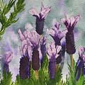 Lavender by Robert Thomaston
