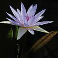 Lavender Tropical Water Lily by Byron Varvarigos