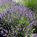 Lavender  by Valerie Josi