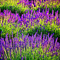 Lavenderous Harmony by Olivier Le Queinec