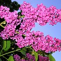 Lavish Lilacs by Will Borden