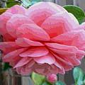 Layers Of Pink Camellia - Digital Art by Carol Groenen