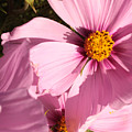 Layers Of Pink Cosmos by Carol Groenen