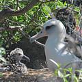 Laysan Albatross Chick by Megan Martens