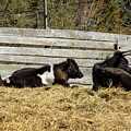 Lazy Cows And Weathered Wood by William Tasker