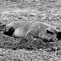 Lazy Hog by Shawna Walker