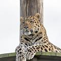 Lazy Leopard by James McHugh