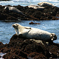 Lazy Seal by Brooke Roby
