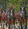 Leading The Way-budweiser Clydesdales by Neil Doren