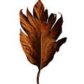 Leaf 0787 by Pang Saw Wee