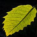 Leaf Aglow by Douglas Barnett