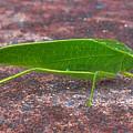 Leaf Bug  by Pamela Walton