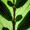 Leaf Detail by Christopher Johnson
