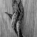 Leaf Entwined In Black And White by James Aiken