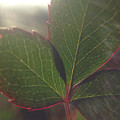 Leaf Flare by Michelle Ngaire