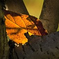 Leaf In Fork by Norman Andrus