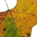Leaf Light by Jon Benson