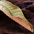 Leaf On Log- St Lucia by Chester Williams
