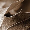 Leaf Study In Sepia II by Lauren Radke