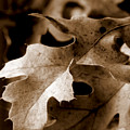 Leaf Study In Sepia IIi by Lauren Radke