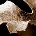 Leaf Study In Sepia by Lauren Radke