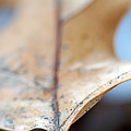 Leaf Study Vii by Lauren Radke