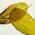 Leaf Symmetry by Jon Benson