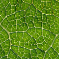 Leaf Veins by Greg Vaughn - Printscapes