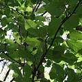 Leaf Xray by Joshua Sunday