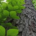 Leafy Ladder by Ed Smith