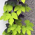 Leafy Vine by Julie Behm