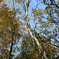 Leaning Birch by Mary Bedy