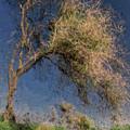 Leaning Tree by Syed Muhammad Munir ul Haq