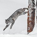 Leapin Bobcat by Wes and Dotty Weber