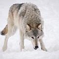 Leary Wolf Style by Athena Mckinzie