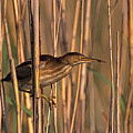 Least Bittern by John Harmon