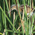 Least Bittern Juvenile With Dragonfly 2625-081718-cr by Tam Ryan