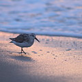 Least Sandpiper At Dawn by Robert Banach