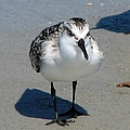 Least Sandpiper by J M Farris Photography