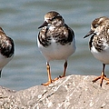 Least Sandpipers by J M Farris Photography