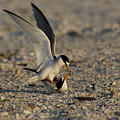 Least Terns In The Summertime by Meg Rousher
