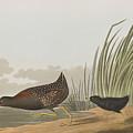 Least Water Hen by John James Audubon