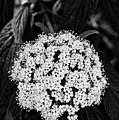Leatherleaf Viburnum 2 by Bob Phillips