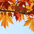 Leaves Autumn Orange Sunlit Fall Leaves Blue Sky Baslee Troutman by Baslee Troutman