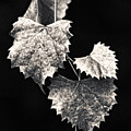 Leaves by Christopher Holmes