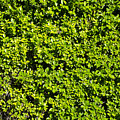 Privacy Hedge by Erik Burg
