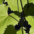 Leaves Of Wine Grape by Michal Boubin