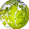 Leaves by Petersam Fahnrich
