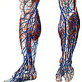 Leg Blood Vessels, Anatomical by Wellcome Images